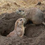 Zoo Praha slavnostně otevře novou expozici psounů