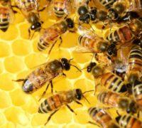 Včely při práci  ©PollyDot, Pixabay