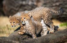 Keywords: 02 zví?ata - obratlovci;02.06 savci;02.06.11 ¨elmy;02.06.11.08 ko?kovití;gepard;mlád?