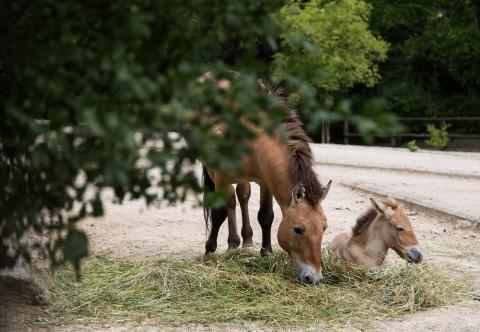 V pražské zoo proběhne mongolsky laděný Víkend s koněm Převalského. Foto: Petr Josek, Zoo Praha
