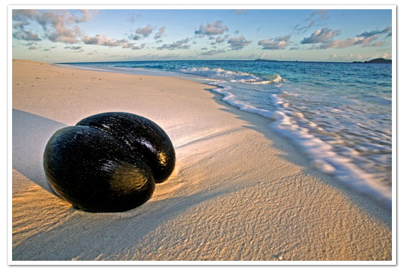 The famous Coco de Mer washed up on faraway beaches long before Seychelles was first discovered © Martin Harvey