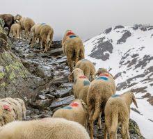 Transhumanz: dávná tradice putování ovcí a lidí