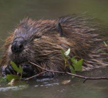 Program Průvodci divočinou umožní výpravu za šumavskými bobry