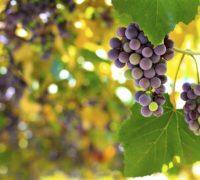 Pražské vinice o víkendu otevírají