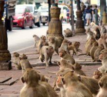 Válka opic v Thajsku kvůli úbytku turistů