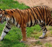Populace divokých tygrů v Indii vzrostla za poslední 4 roky o 33 procent