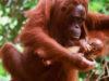 Mother & baby Orang-utan (Pongo pygmaeus)   Nyaru Menteng.   Central Kalimantan, Indonesia.   Borneo